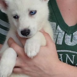 beautiful-siberian-husky-babies-ac