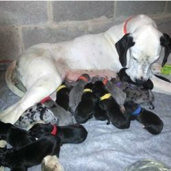 19-Puppies-Born-to-a-Great-Dane-Living-in-Pennsylvania-US