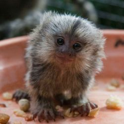 Baby-Pygmy-Marmoset-Pictures3