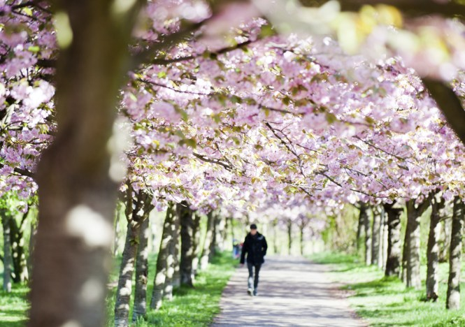 epa04168735 A man walks along a path framed by blossoming Japanese Cherry trees in Berlin, Germany, 16 April 2014. EPA/Hauke-Christian Dittrich