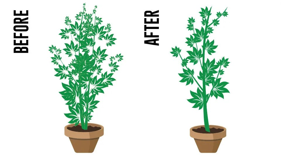 How To Increase Your Maximum Plant Yields During The Vegetative