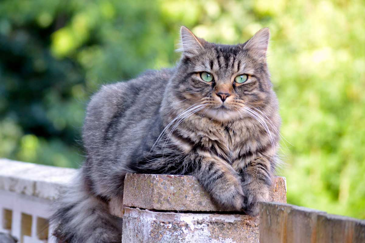 9 Cat Breeds That Love Water Adventure Cats