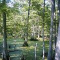 300px-Big_Cypress_Bayou