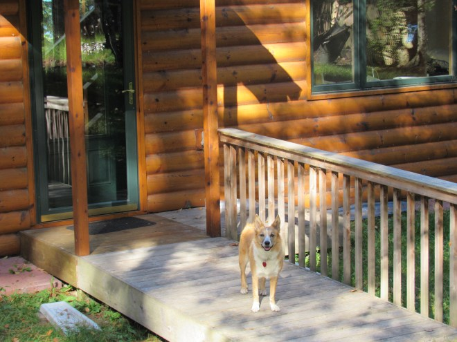 Cabin life at Kabekona Lake in northern Minnesota is awesome! This message has been approved by an American Dingo.