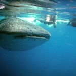 holbox-mexico-whale-shark-2