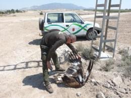 Un Agente de Medio Ambiente examina un águila real electrocutada. Foto: AEAFMA.