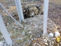 Búho real muerto por electrocución junto al poste de un tendido eléctrico. Foto: SIECE.