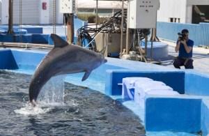 Delfín saltarín. Fotografía de Antonio Calvo Roy