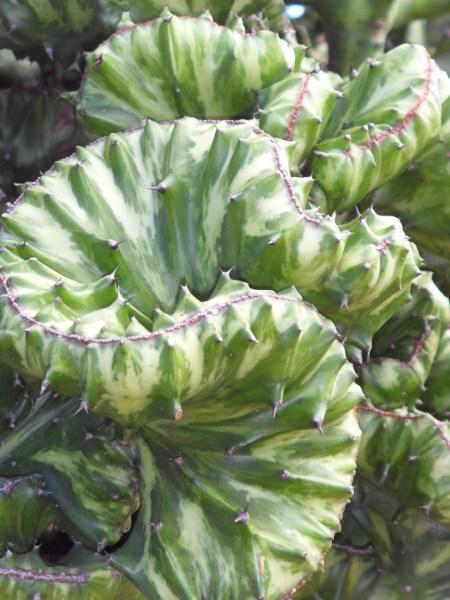 Curlicue Succulent