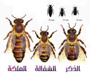 معلومات عن عالم النحل