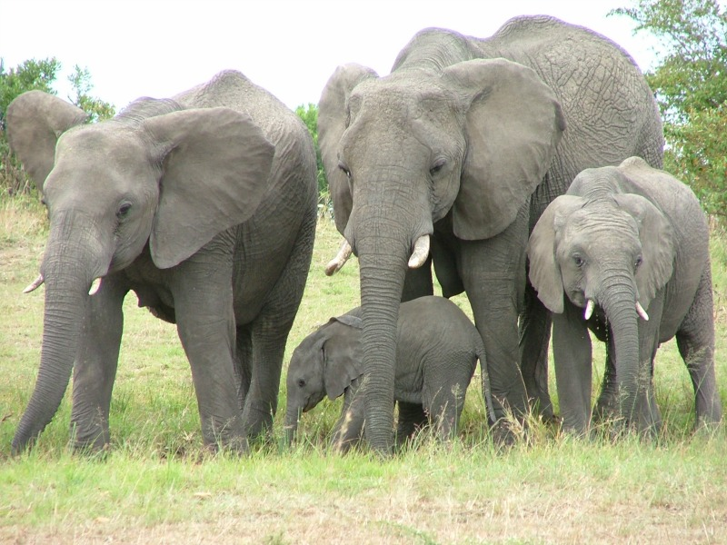 Cute Wallpapers For Adults African Elephant Some Fascinating Facts And Pictures