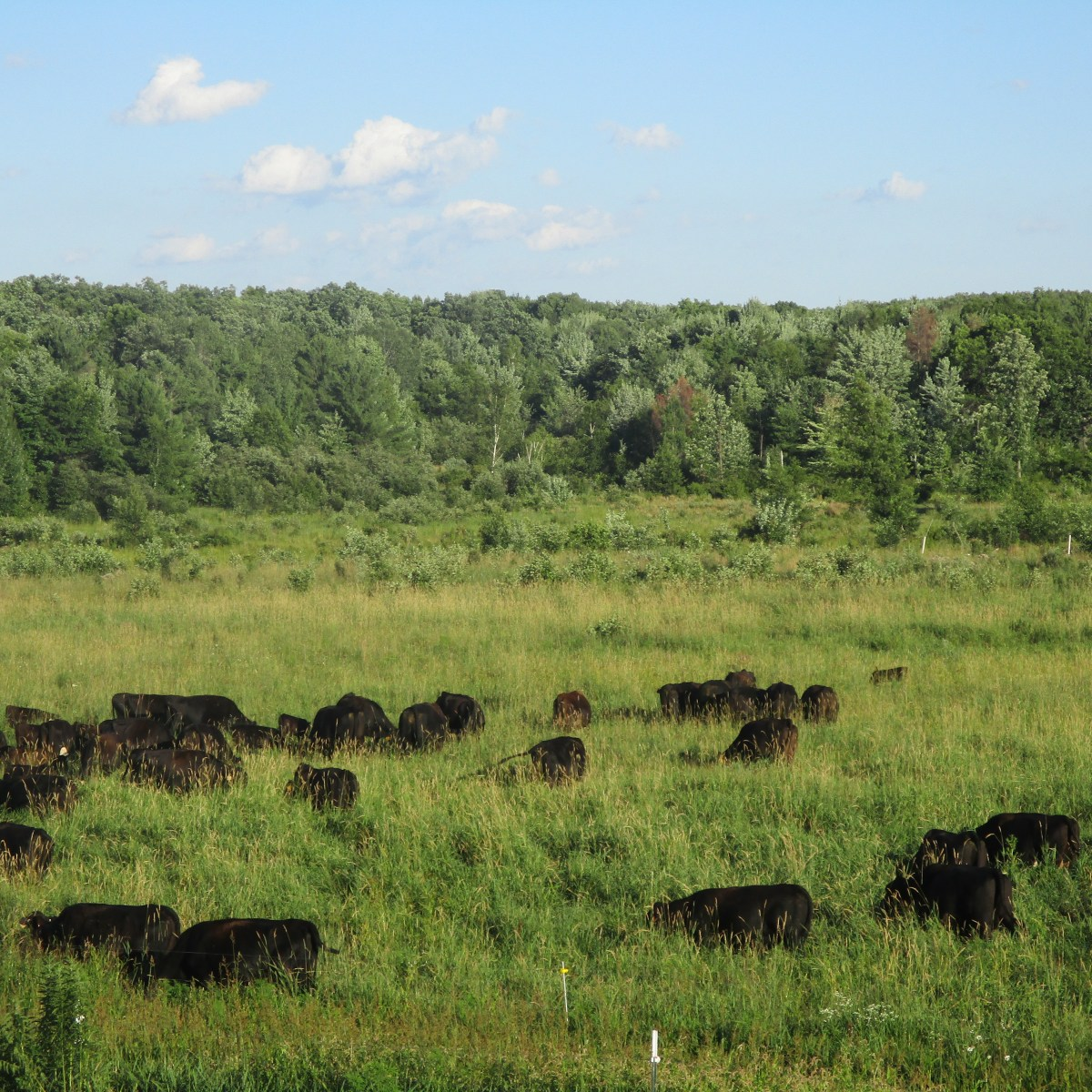 Cows enjoying a beautiful salad.