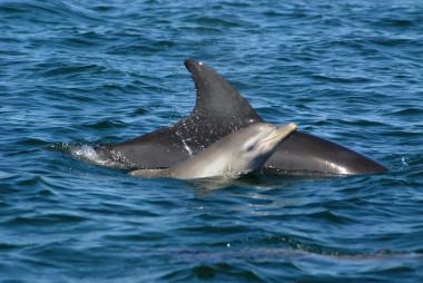 <p>Cría de delfín mular recién nacida junto a su madre al oeste de Australia. / Holly Raudino (MUCRU)</p>