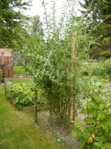 Plant de goji bio acheter sur Biologiquement.com et planté dans un jardin breton