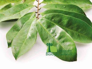 La feuille de graviola corossol anti-cancer naturel puissant
