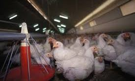 La France touchée par la grippe aviaire - AgriMaroc.ma