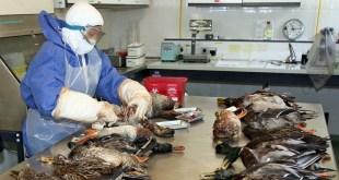 Casablanca: Séminaire sur l'abattage des volailles.