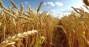 Droit d'importation du blé: Le projet de loi adopté par le gouvernement
