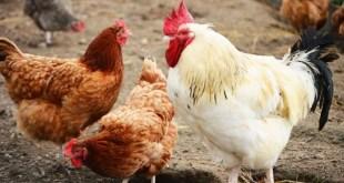 ONSSA: Prises de mesures préventives contre l'afluenza aviaire