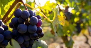 Une équipe mixte de l'Inra et de Bordeaux Sciences Agro a remporté lundi le premier appel à projets international privé, doté de 600 000 euros, pour lutter contre les maladies du bois de la vigne.