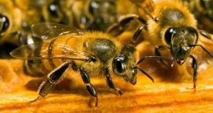 Les abeilles savent compter et reconnaître un visage humain!