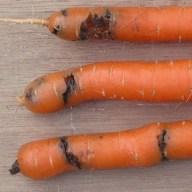 dégâts-mouche-carotte