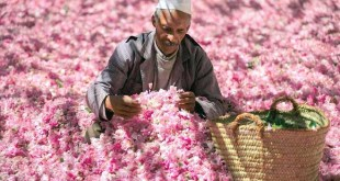 Rose à parfum de Kelaât M'Gouna: progrès et enjeux de la filière