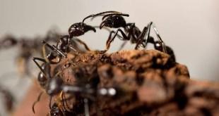 Les fourmis inventèrent l'agriculture il y a des millions d'années