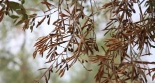 FAO: Un projet pour lutter contre une maladie de l'olivier