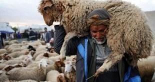 Tunisie: Des moutons atteints de la peste des petits ruminants