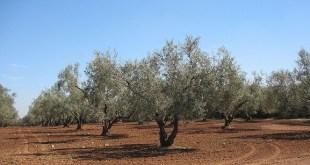 Quel avenir pour l'huile d'olive marocaine?