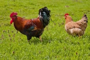 Oriental: La FISA sensibilise les aviculteurs