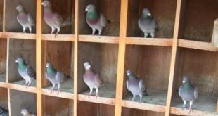 L'élevage du pigeon voyageur au Maroc