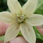 Bichitos en las flores: TRIPS DE LAS FLORES
