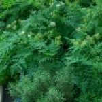 Cultivar hierbas aromáticas para cocinar