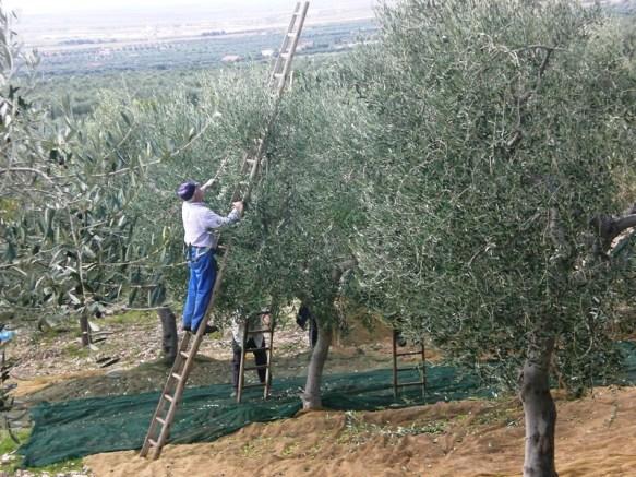 raccolta-di-olive-pu-mazzarille-anni-2000-copertina