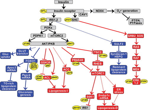 NOX4 Pathway as a Source of Selective Insulin Resistance and
