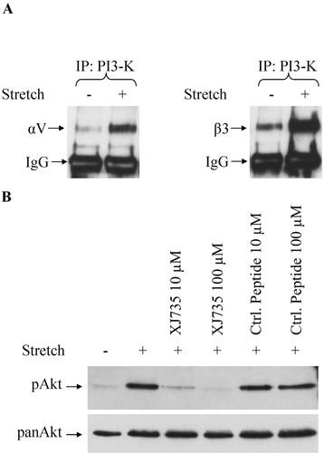 Caveolin-1 Facilitates Mechanosensitive Protein Kinase B (Akt