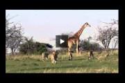 بالفيديو: زرافة شجاعة تحمي صغيرها من قطيع أسود