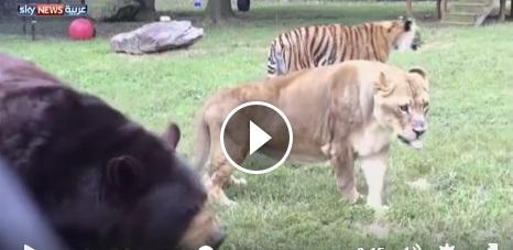 شاهد الدب والنمر والأسد في صداقة نادرة بالفيديو