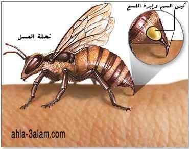 آلة اللسع عند النحلة