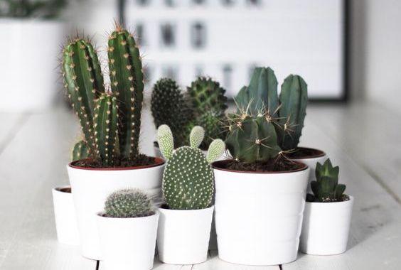 أجمل نباتات الصبار المستخدمة للزينة أشواكها مؤلمة لكنها فائقة الجمال
