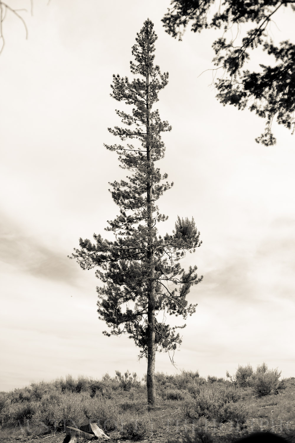 A single, lonely tree stands tall at a backcountry campsite in Stanley, Idaho.