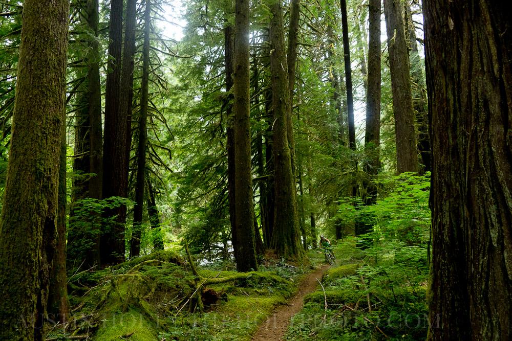 Well-worn singletrack mountain biking trail winds through the McKenzie wilderness in Oregon.