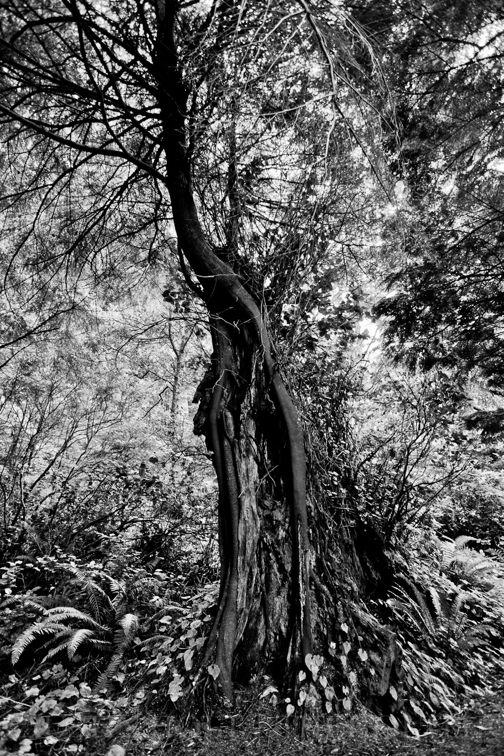 Black and white photo of a tree standing in the forest in Oregon.