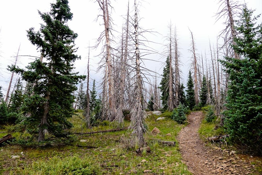 Trees along the side of the Dark Hollow mountain bike trail in Brian Head, Utah