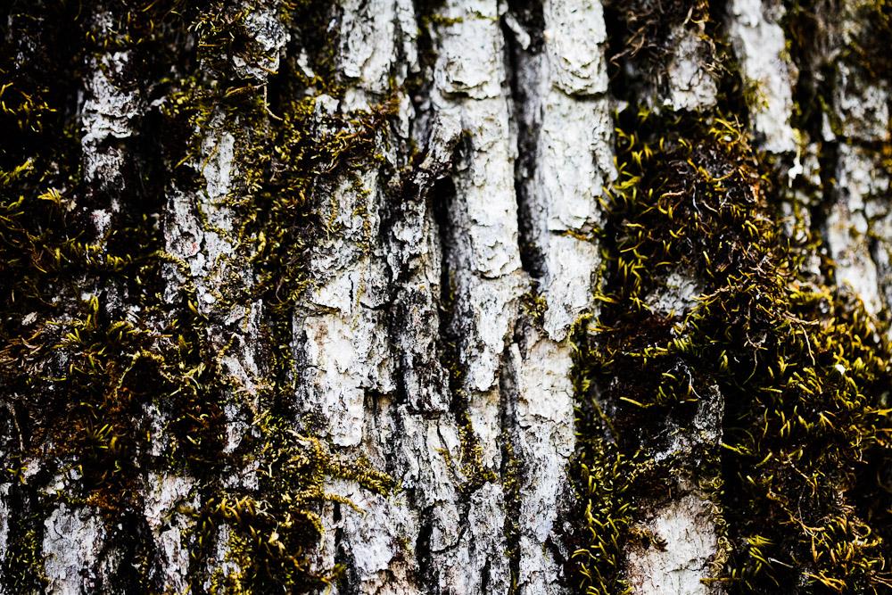 Moss growing on a tree in Oregon