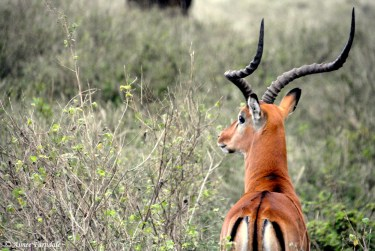A male Impala keeping watch for his herd. Note the characteristic 'm' on his rear end | Lewa, Kenya