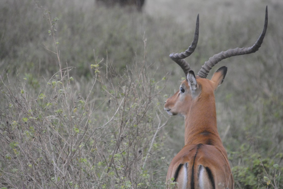 A male Impala keeping watch for the herd