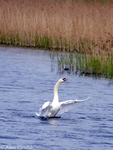 A mute swan about to take flight from the water | Stavely, UK